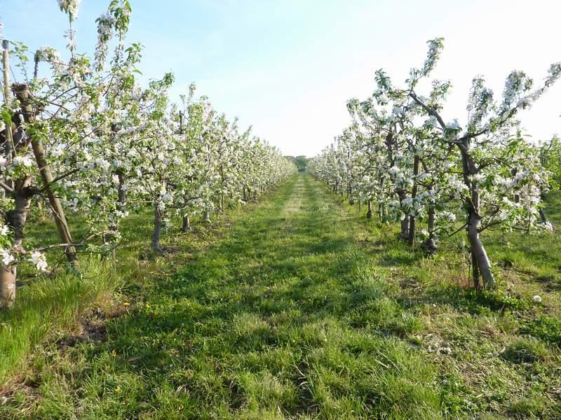 Apfelblüte-Granny Smith